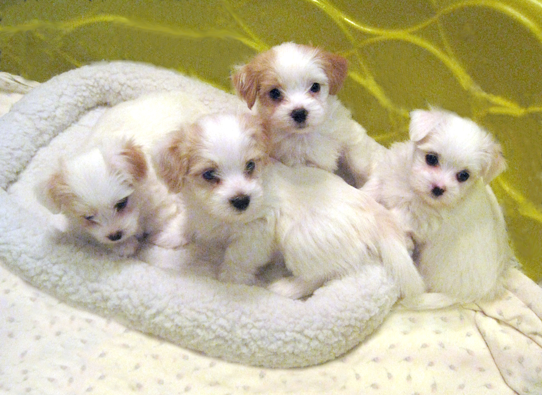 Indiana Havanese Puppies